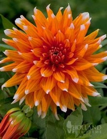 1000+ images about Dahlias & Other Flowers on Pinterest.