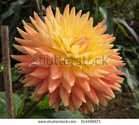Cactus Dahlia Stock Photos, Royalty.