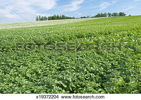 Stock Photo of Potato farm growing abundantly x19372204.
