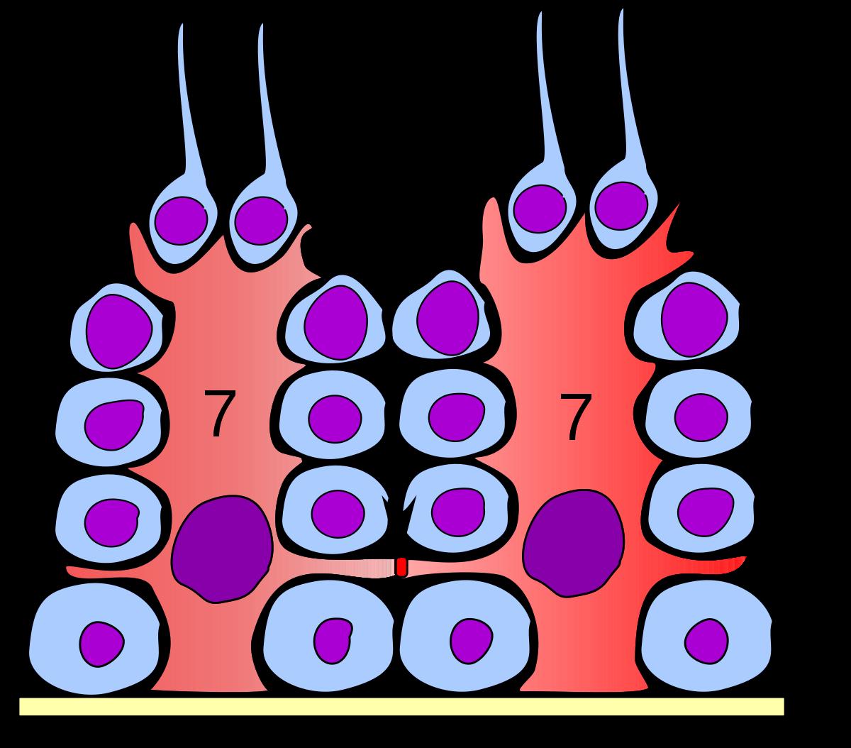 Sertoli cell.