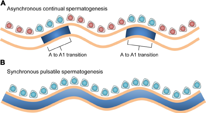 Initiation of the cycle of the seminiferous epithelium and.