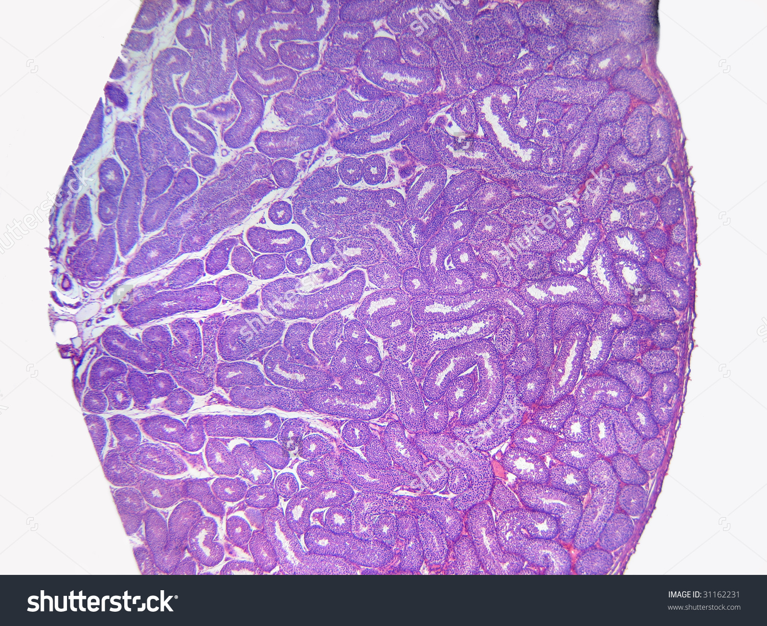 Rabbit Testis Cross Section Showing Seminiferous Stock Photo.