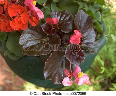 Stock Image of Wax Begonia.