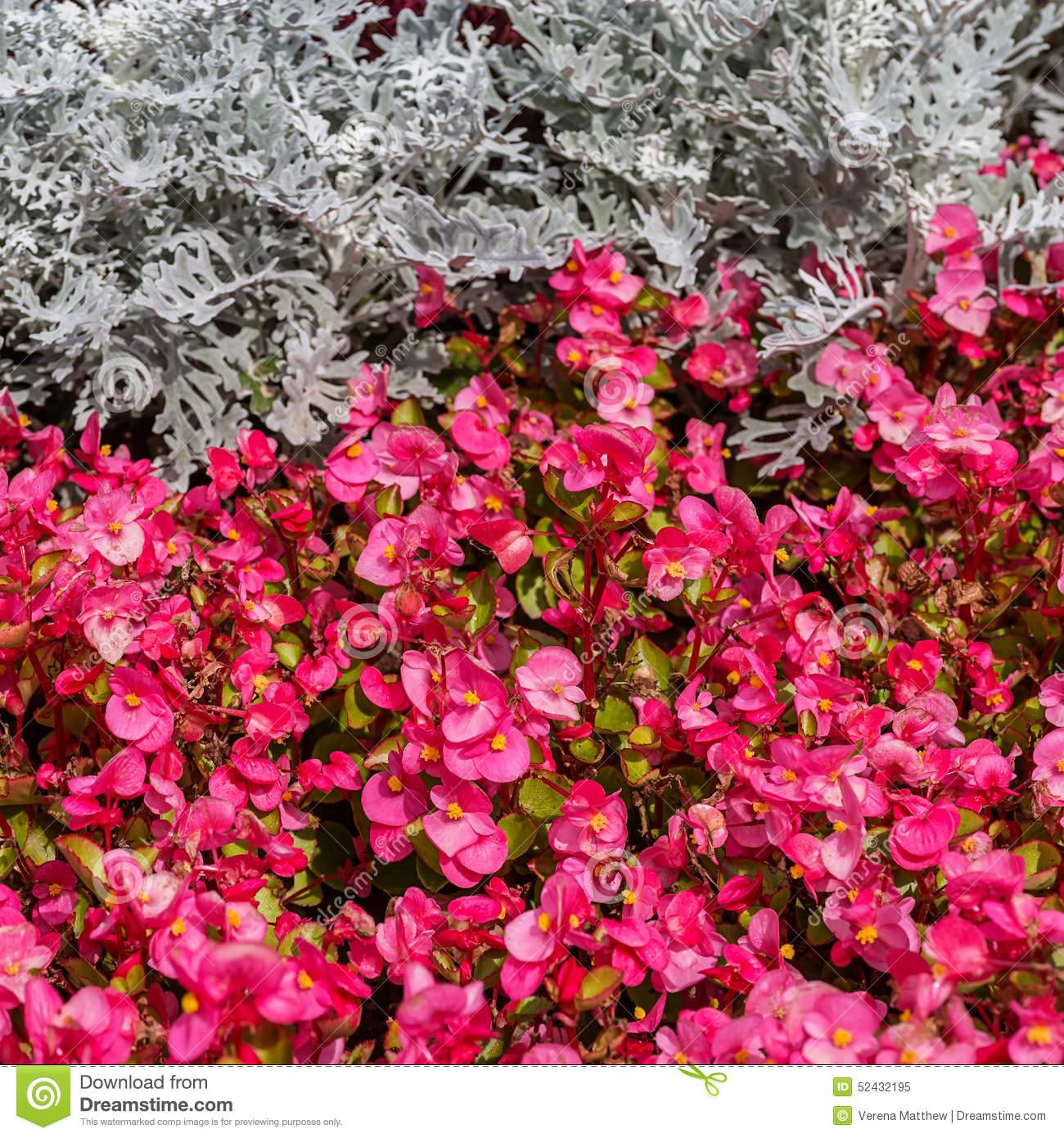 Wax Begonias Stock Photo.
