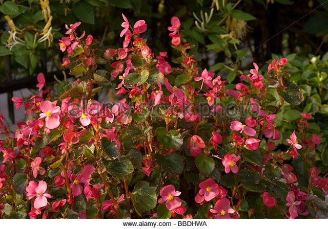 Begonia Stock Photos & Begonia Stock Images.