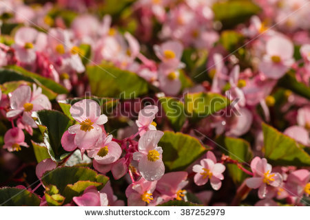 Wax Begonia Stock Photos, Royalty.