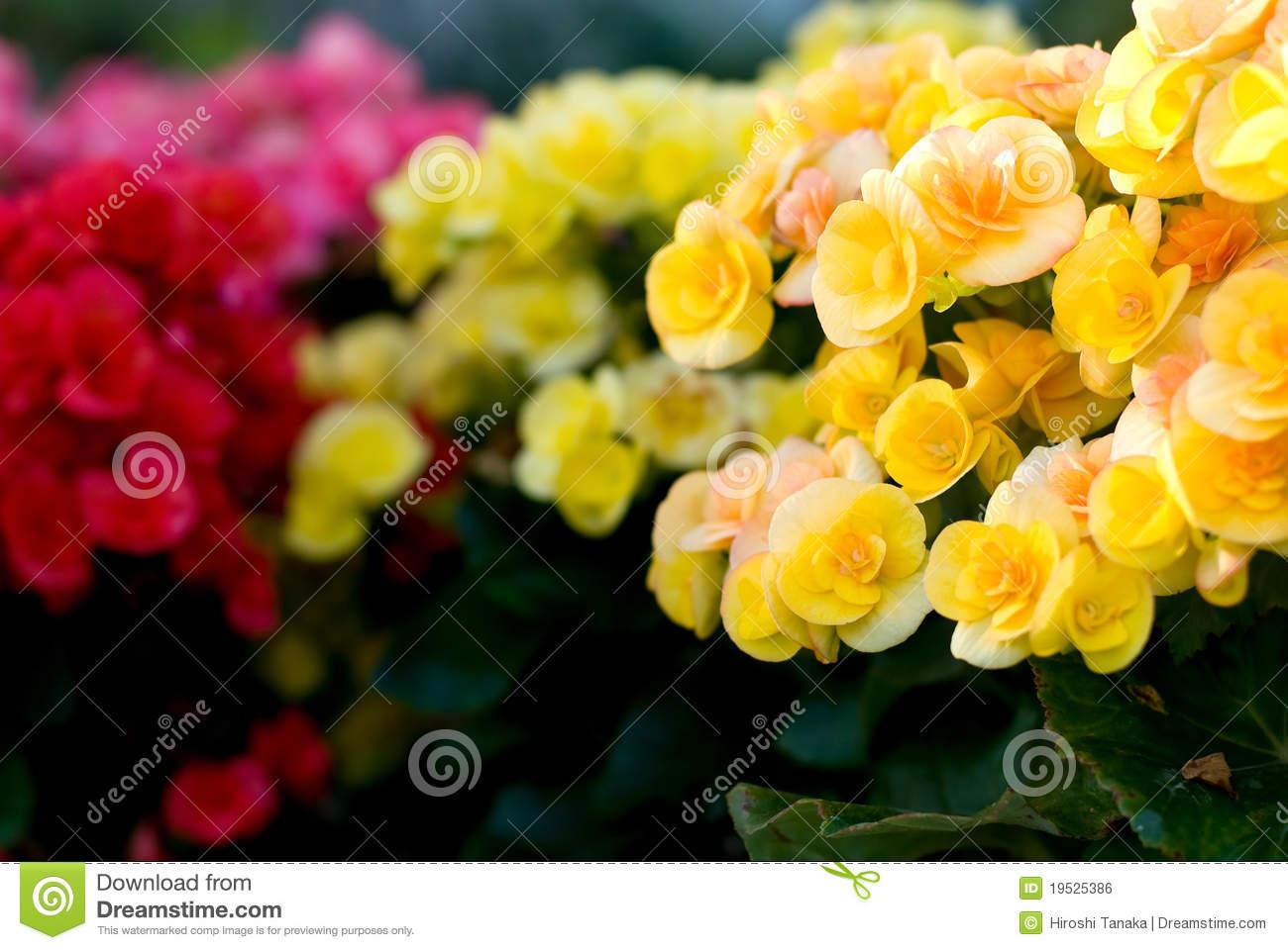 Begonia Semperflorens Royalty Free Stock Image.