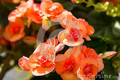 Red Begonia Semperflorens Stock Photo.