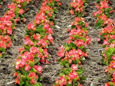 Red Wax Begonias (Begonia x semperflorens.