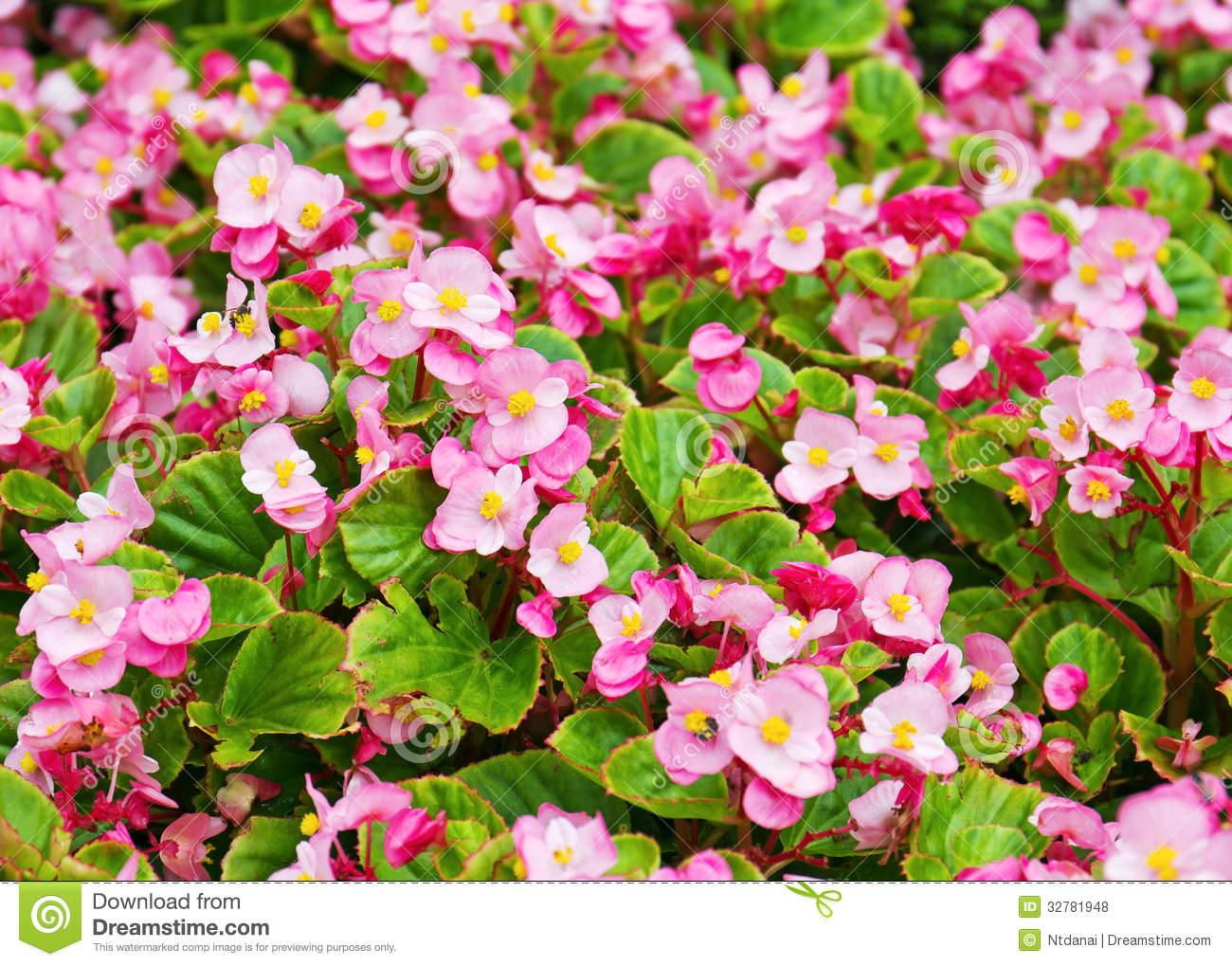 Wax Begonia Flower Royalty Free Stock Photos.