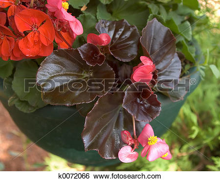 Stock Images of Wax Begonia k0072066.