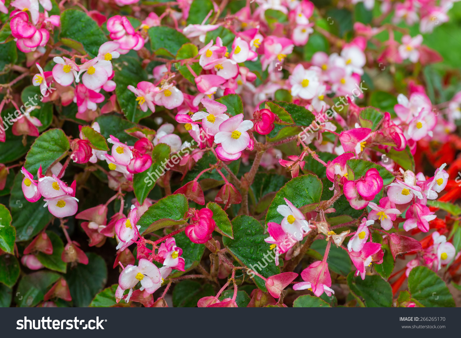 Bicolor Pink Wax Begonia Or Fibrous Stock Photo 266265170.