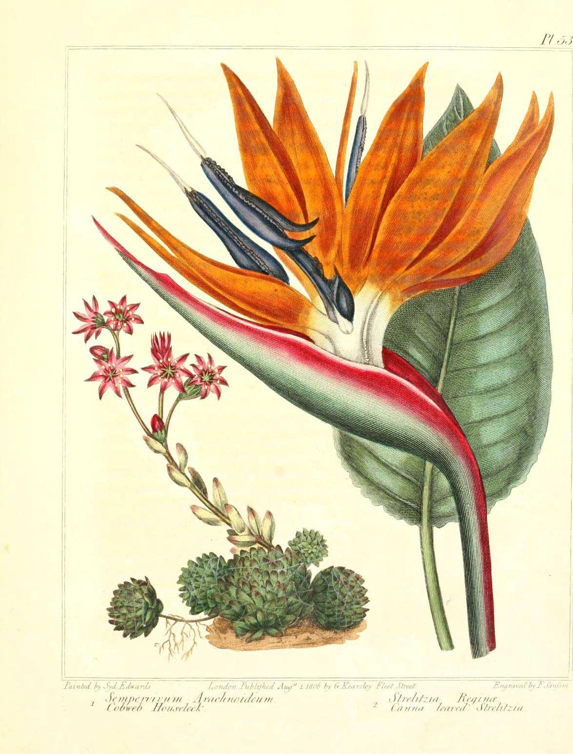 Sempervivum arachnoideum (Sempervivum arachnoideum L.).