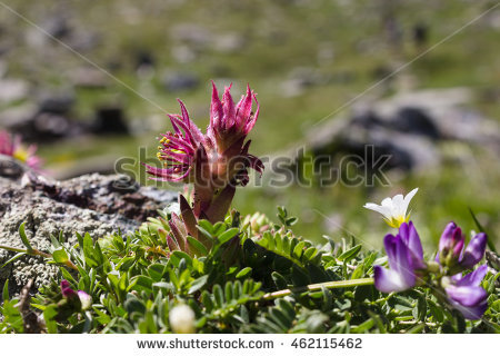 """purple Sempervivum"" Stock Photos, Royalty."