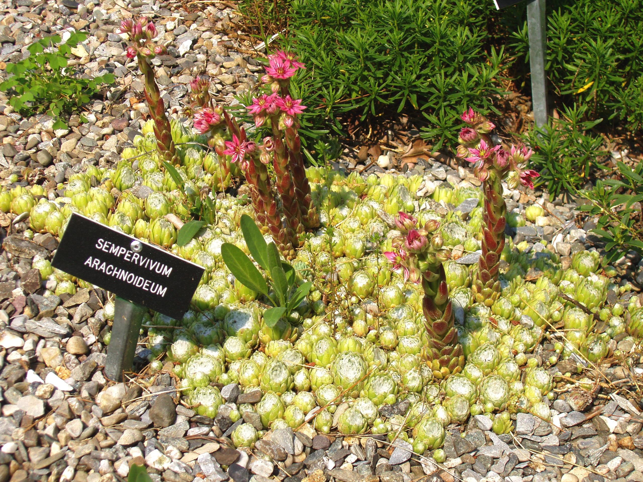 Sempervivum arachnoideum L..