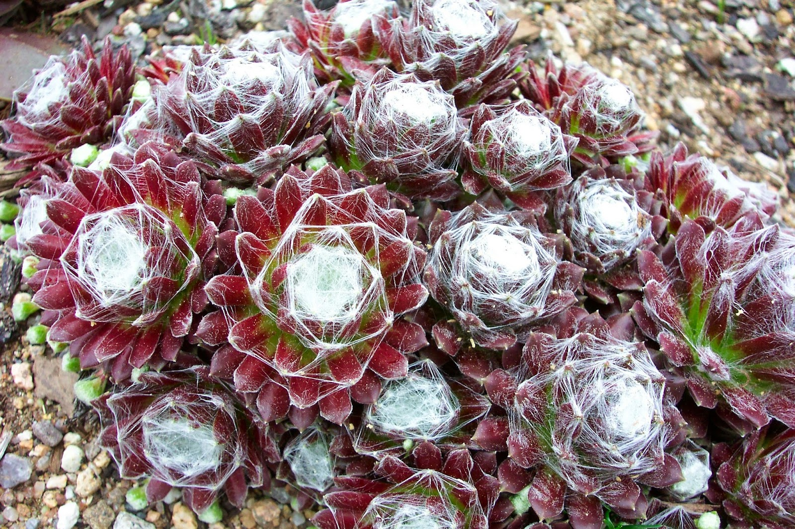 Plant of the Day: Plant of the day is: Sempervivum arachnoideum or.