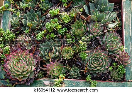 Stock Photo of Sedum or sempervivum plants for dry planting.