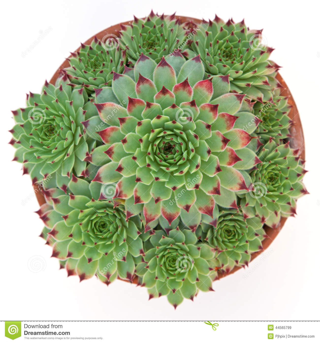 Succulent Sempervivum Calcareum In Ceramic Plant Pot With Side O.