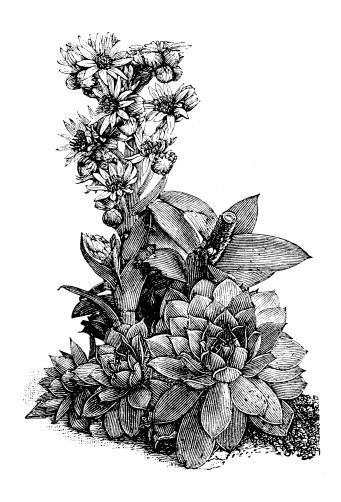 Sempervivum Clip Art, Vector Images & Illustrations.