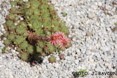 Sempervivum montanum.