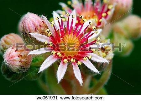 Stock Photography of Houseleek (Sempervivum montanum). Osseja, Pyr.