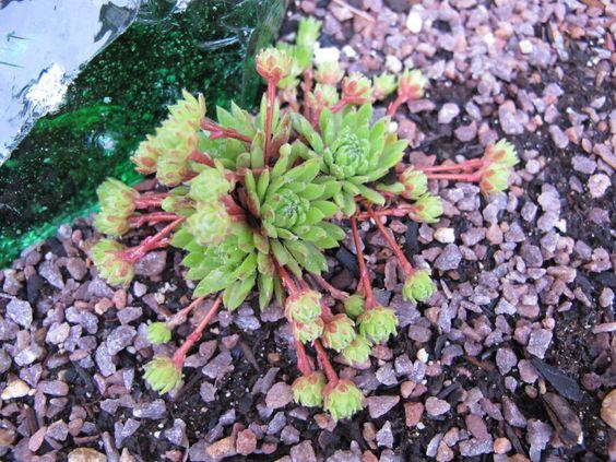Sempervivum 'montanum var minimum'.