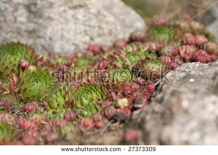 Houseleek (Sempervivum Montanum) In The Pyrenees Stock Photo.