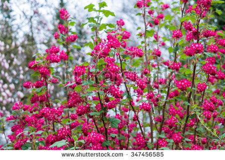 Saxifragales Lizenzfreie Bilder und Vektorgrafiken kaufen.