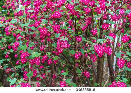 Saxifragales Stock Photos, Royalty.