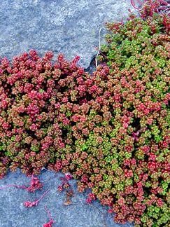 """Sedum oreganum """"Oregon Stonecrop""""."""