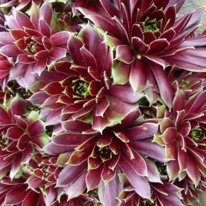1000+ images about hens and chicks on Pinterest.