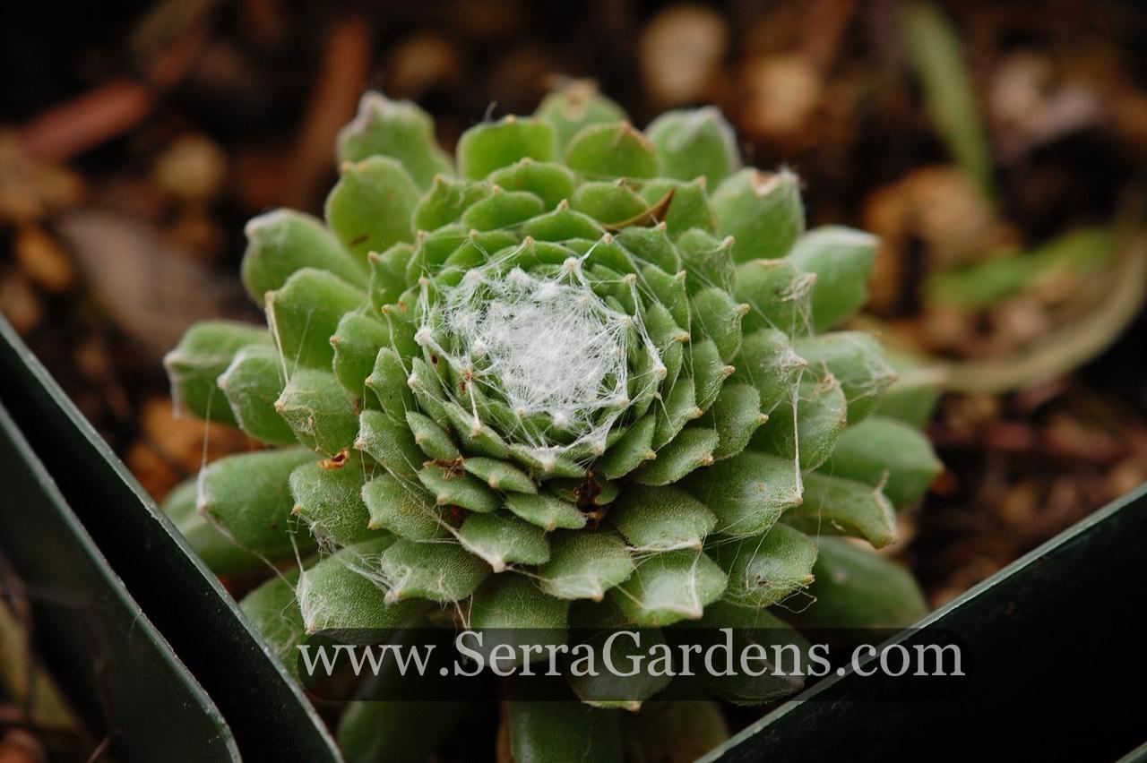 Sempervivum arachnoideum (Houseleek).