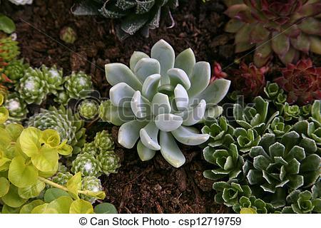 Stock Images of Sempervivum tectorum in closeup, housekeep.