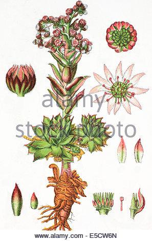Common Houseleek (sempervivum Tectorum), Illustration From Soviet.