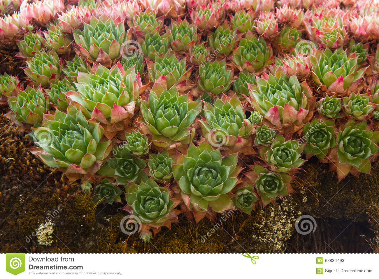 Plant Sempervivum Tectorum Stock Photo.