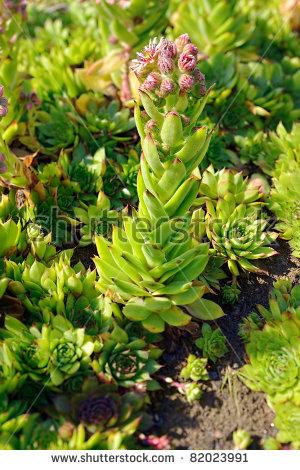 Flowering Sempervivum And Buds. Sempervivum Tectorum (Common.