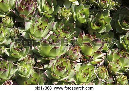 Pictures of House Leek, Sempervivum tectorum bld17368.