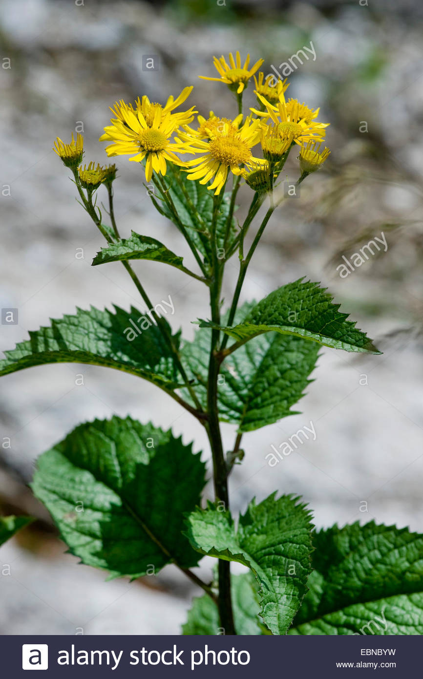 Alpine Ragwort (senecio Alpinus, Senecio Cordatus), Blooming.