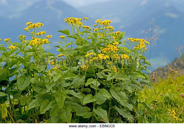 Alpine Ragwort Stock Photos & Alpine Ragwort Stock Images.
