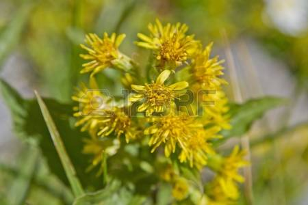 Alpinus Stock Photos Images, Royalty Free Alpinus Images And Pictures.