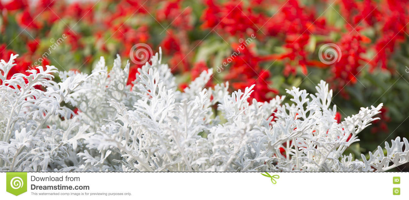 Cineraria Maritima (Senecio Bicolor) Stock Images.