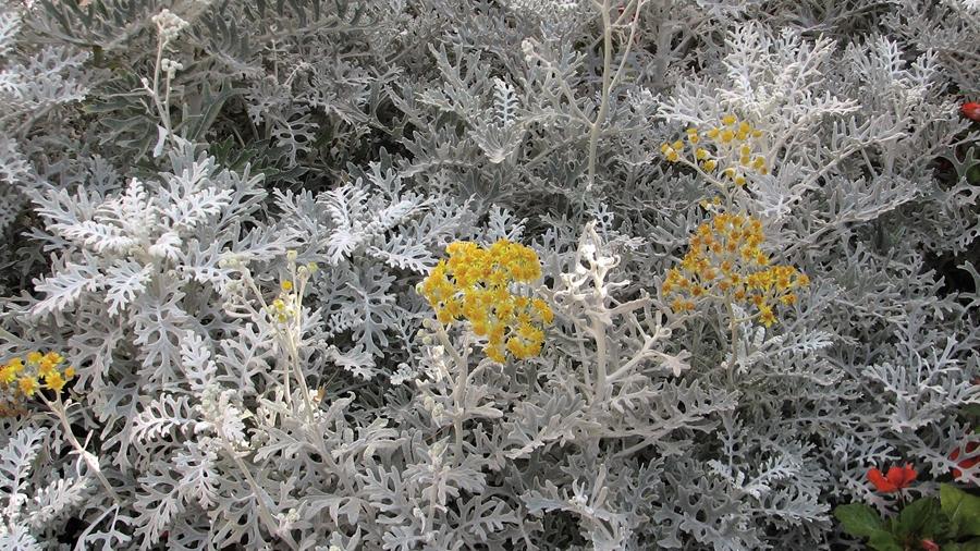 Senecio bicolor subsp. cineraria (dusty miller).