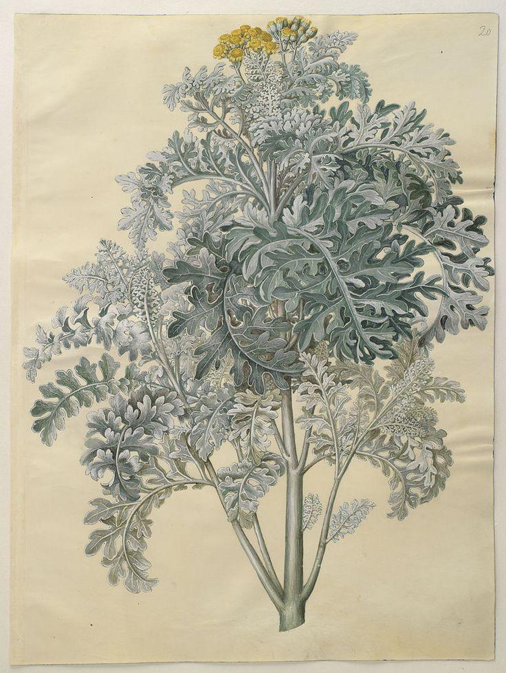 1000+ images about Botanische Illustraties.