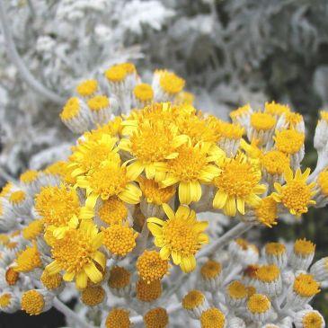 Senecio bicolor (Silver ragwort).