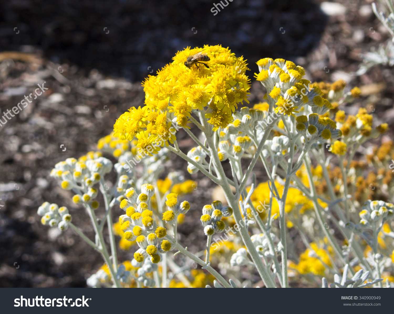 Bee On Bright Yellow Flowers Hardy Stock Photo 340900949.