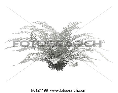 Stock Illustration of Dusty Miller or Senecio cineraria k6124199.