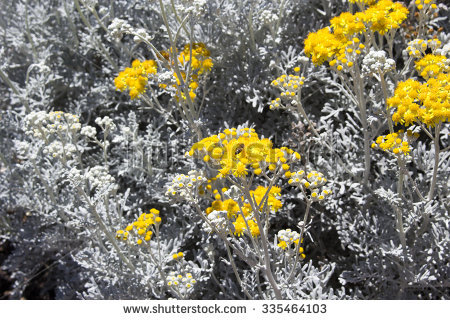 Senecio Cineraria Stock Photos, Royalty.