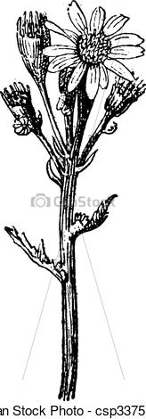 Clipart Vector of Common groundsel or Senecio vulgaris vintage.