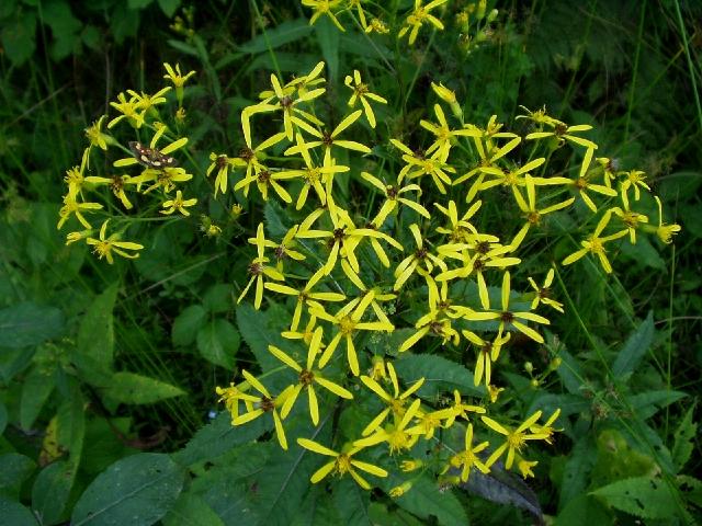Flowers of Senecio fuchsii : Photos, Diagrams & Topos : SummitPost.