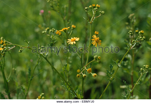 Capitulum Flowers Yellow Stock Photos & Capitulum Flowers Yellow.